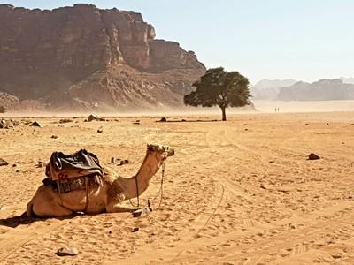 J-Wadi Rum Camel, tree
