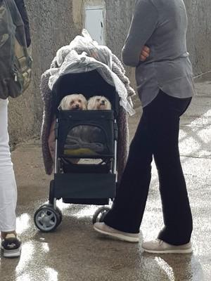 Dogs in pram!