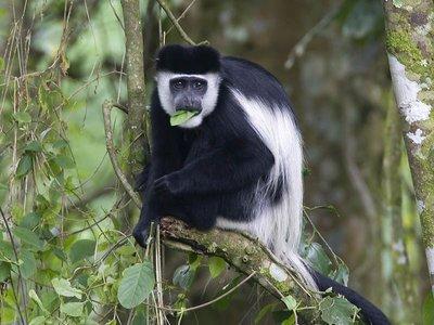 Colobus_monkey.jpg