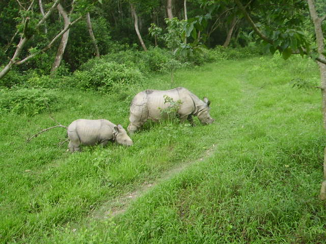 Rhinoceros in Chitwan