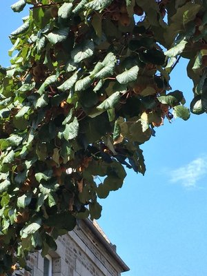 These Passion Fruit were growing over the street.... looked ready for picking