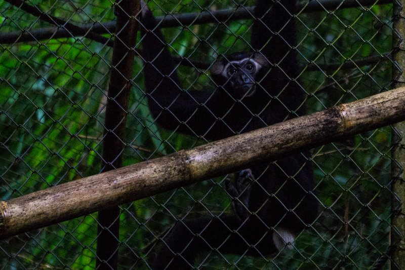 Guiness the Gibbon
