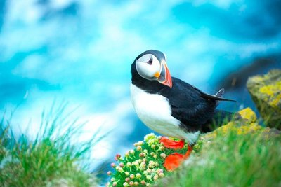 Puffin Perch