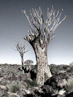 namibia - ketmanshoop - kokerboomwoud