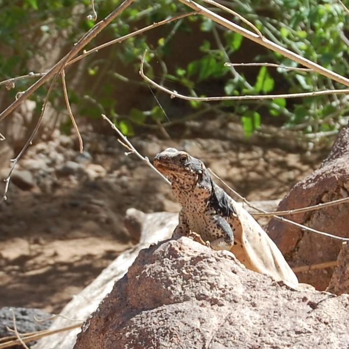 Local lizard @ Zoo.
