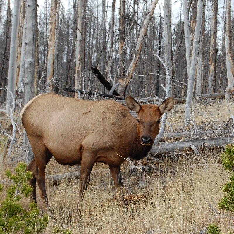 Elk Hind.
