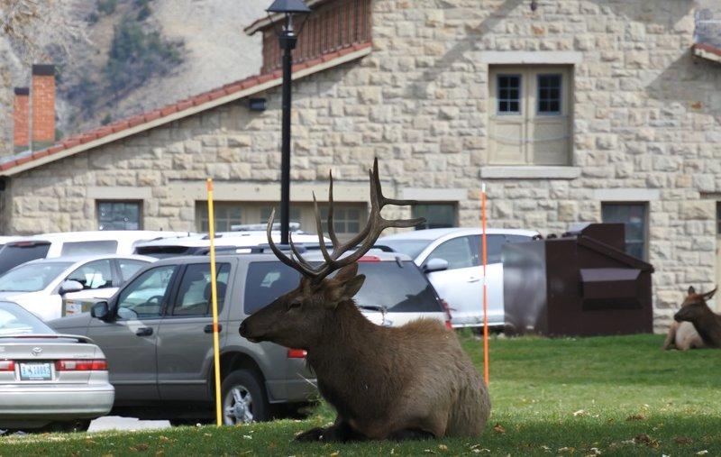 Urban Elk.