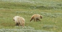 2-3 Year Old Grizzly Cubs, Denali