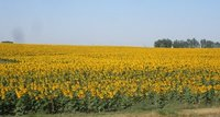 Sunflowers, South Dakota