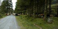 very typical irish cows