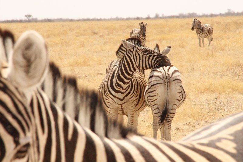 Zebra (Namibia)