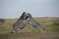 Zebra fighting in Ngorongoro Crater