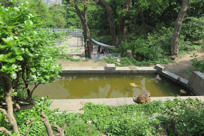 Monkey swimming pool