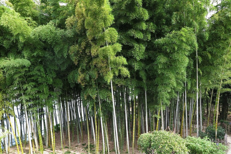 And a bamboo grove
