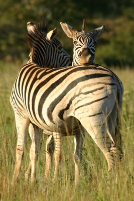 Everybody needs a zebra for a pillow