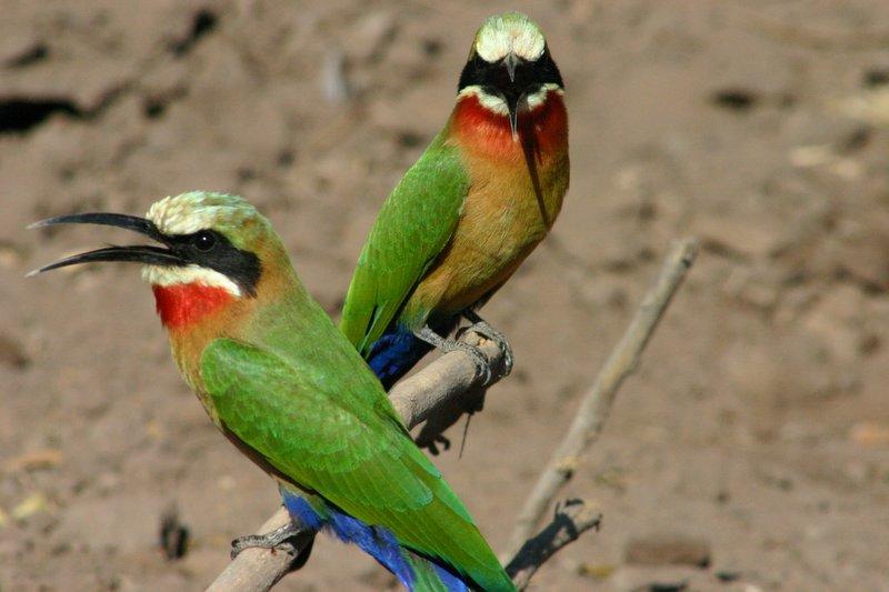 Chobe Birds Kasane Botswana Travellerspoint Travel