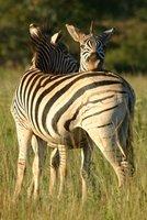 Everybody needs a zebra for a pillow