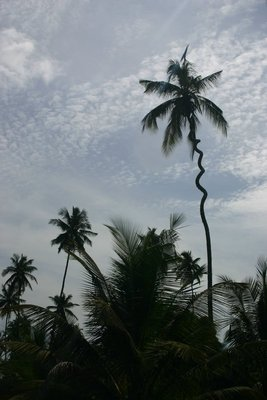 Swirly Coconut palm