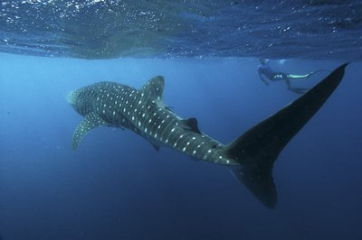 Whale-shark-001.jpg
