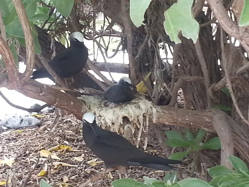 Noddy chick and parents