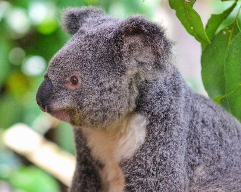 Charlie the Koala
