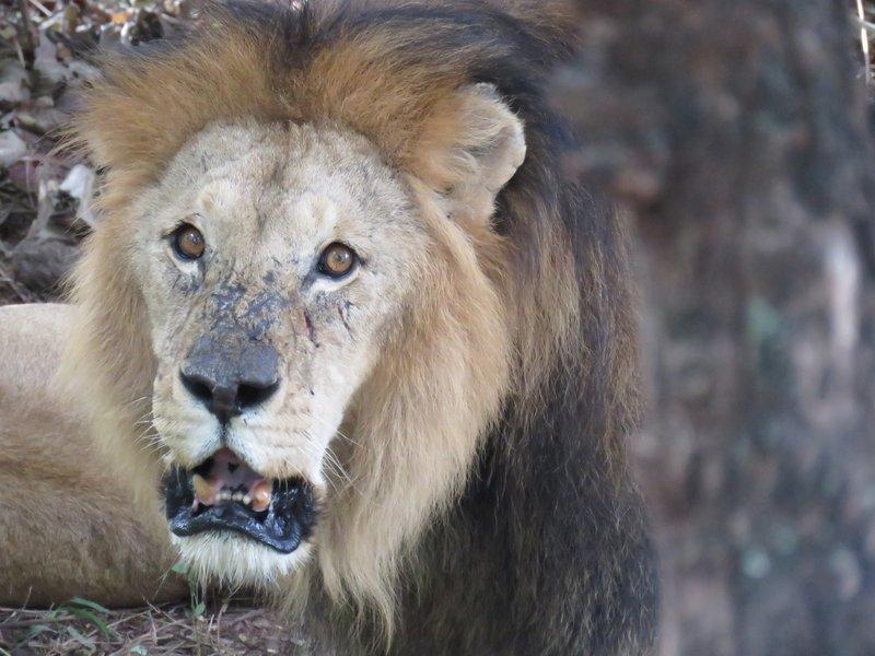 Lion at croc farm, vic falls
