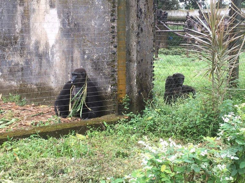 large_Limbe_Gorilla_and_Chimp.jpg