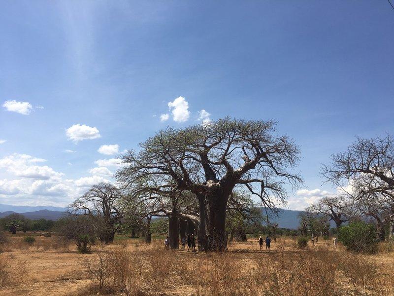 large_Malawi_Baobob_Forest_-_4.jpg