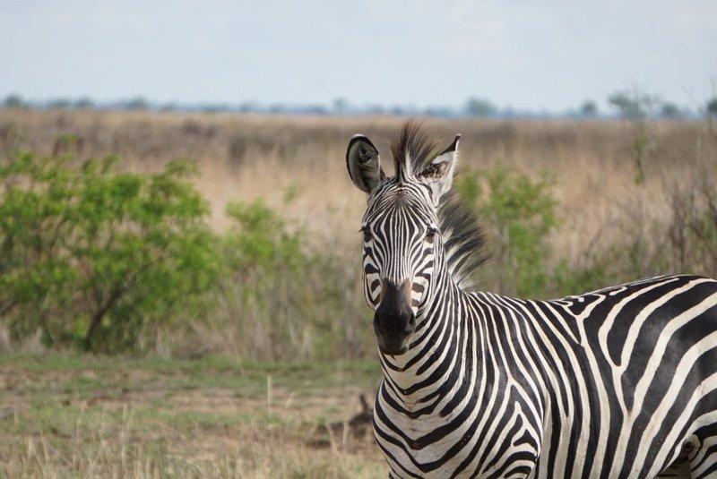 large_Mikumi_-_Zebra.jpeg