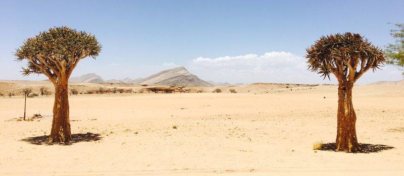 large_Namib_Nauk..Cactus_tree.jpg