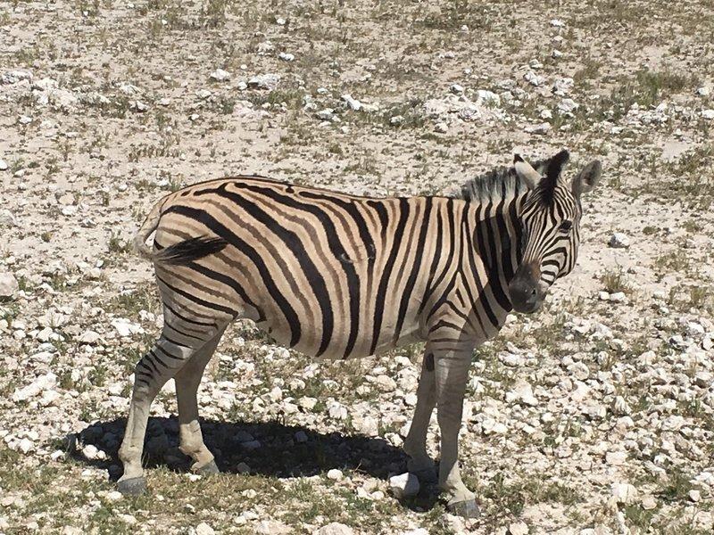 large_Namibia_-_Etosha_-_Zebra.jpg