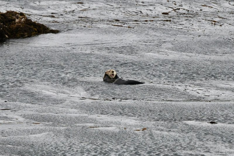 large_Sea_otter.jpg