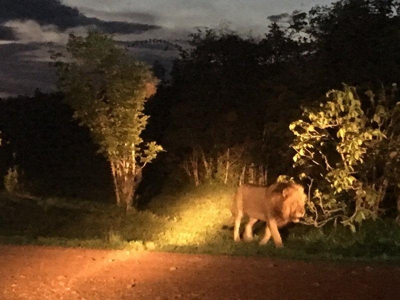 large_Zambia_-_1.._Drive_Lion.jpg