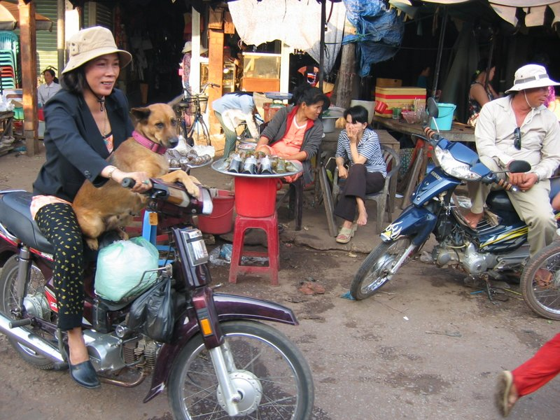 Famous moped driving dog of Phu Quoc