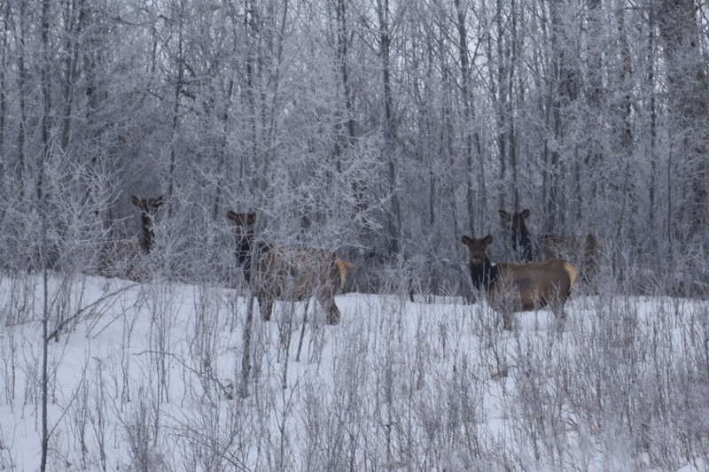 Elk females at Elk Island National Park