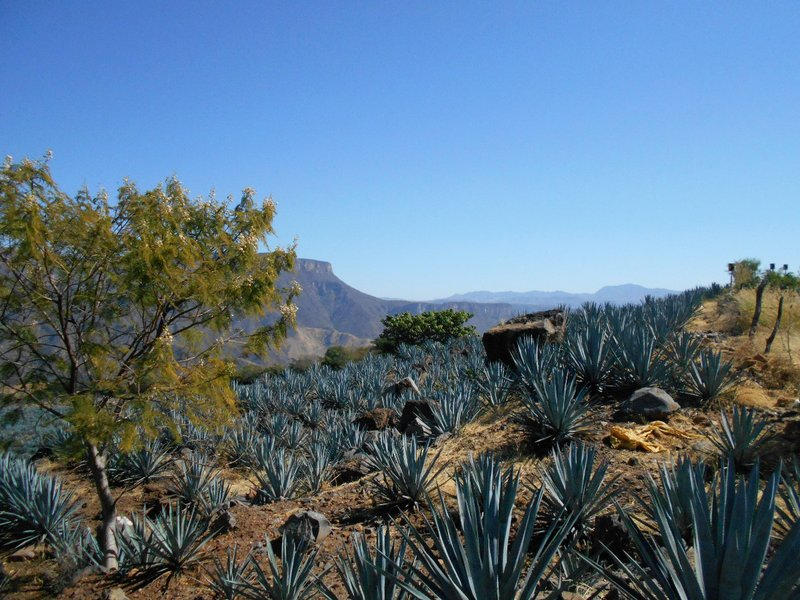 Blue agave plantations
