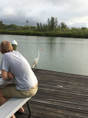A Great Egret on the dock