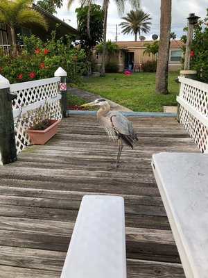 This Great Blue Heron is a daily visitor to our dock