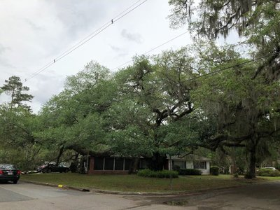 Live Oak as big as the house