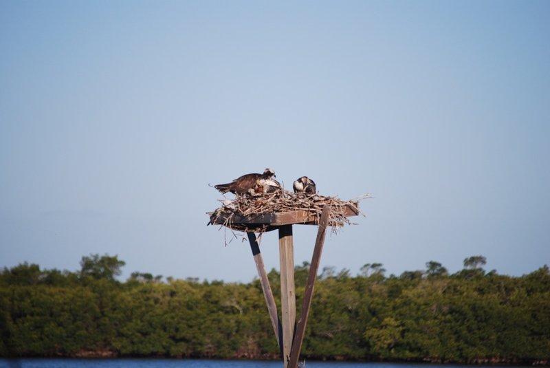 Osprey Nest Matlacha FL