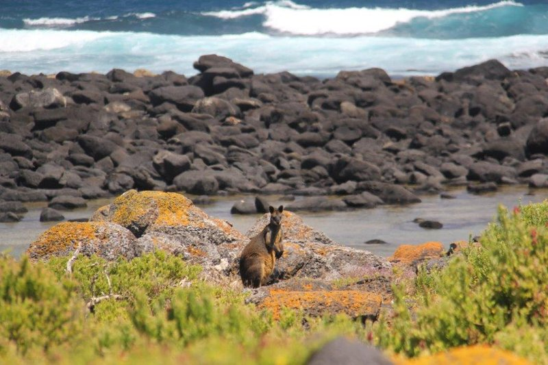 Black Wallaby on Griffiths Island