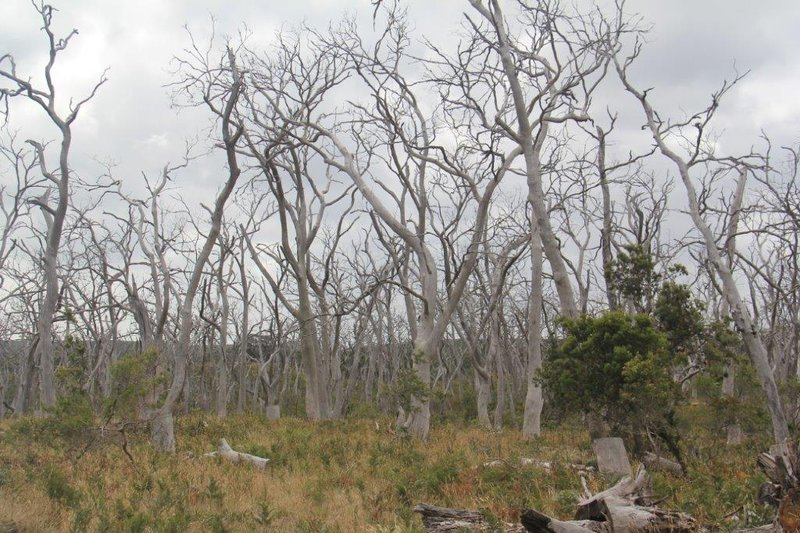 Devastation when koalas overgraze