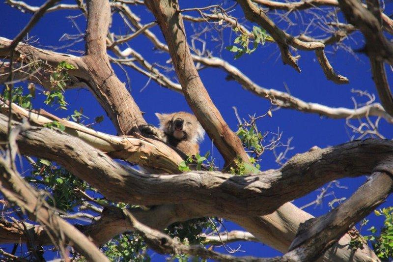 Koalas everywhere