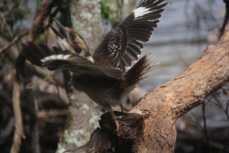Kookaburras strealing our food