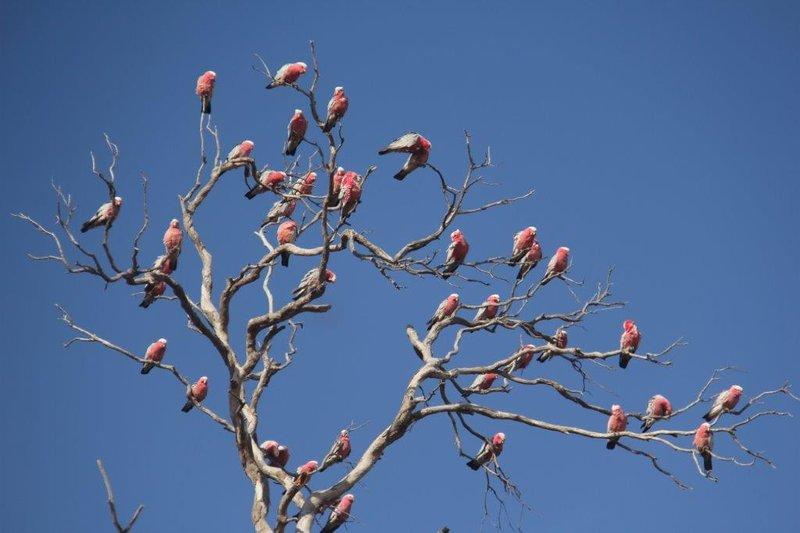 Tree bearing Galahs like fruit