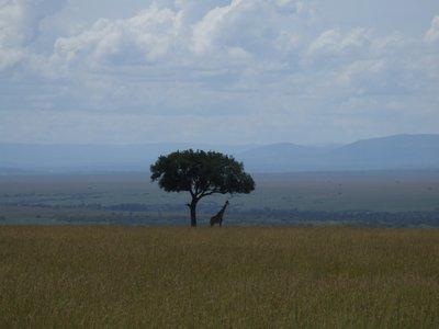 Maasai Mara Giraffe