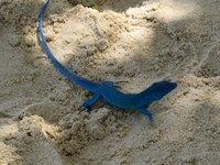 Lagartija azul