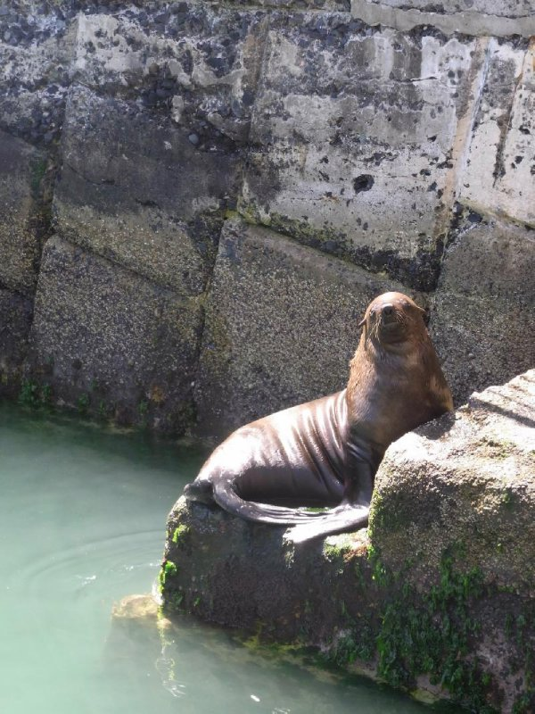 Fish Hoek - Seal at harbour 2013