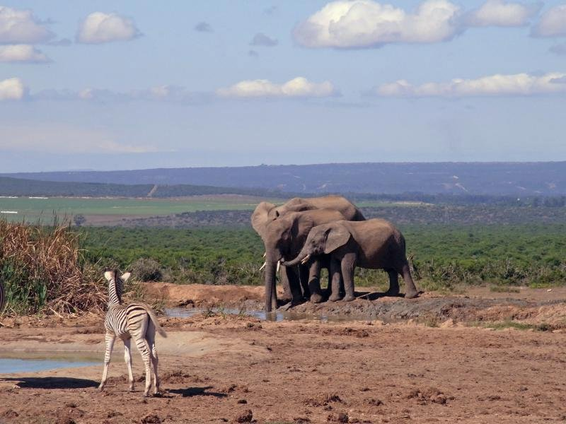 Addo - Zebra junior and Elephant family