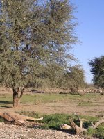 Kalahari - Gemsbok skeleton and Springbok-Antelope herd 2013